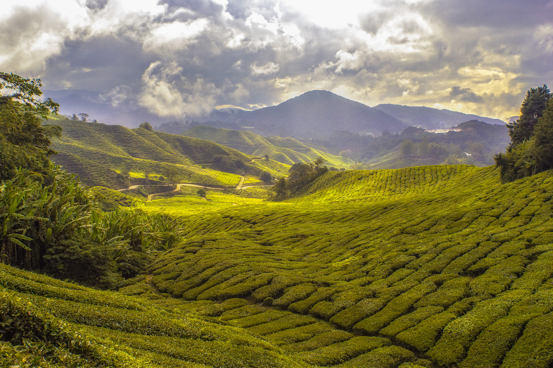tea fields health benefits of tea