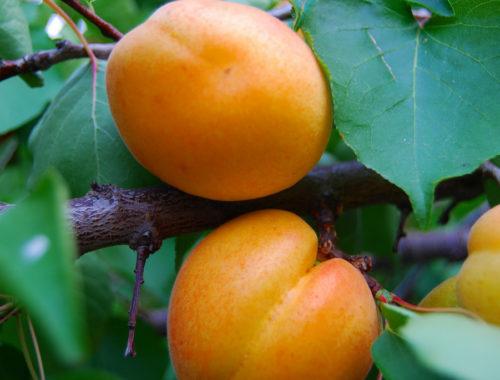 Apricot Chia Tapioca